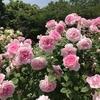 バラ栽培講座(15) 頂芽優勢を理解すれば、いろいろわかる