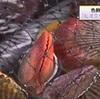 緋扇貝の出荷