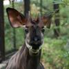 オカピ Okapia johnstoni