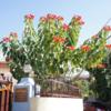 ネパ-ルの樹木と花 第20回目