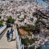 α7Ⅲで撮る桜