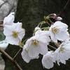 桜の名曲といえば。
