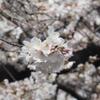 都内お花見スポット ベスト1は伊達じゃない!「目黒川(池尻大橋ー目黒間)」で春の訪れを感じてきました。