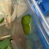 【虫画像注意】知らないことだらけ!アゲハチョウの観察は面白い