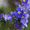 早春の青花「ヘリオフィラ」