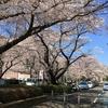 外は大雪でも桜の写真を貼る