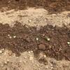 野菜づくり二年生 47 〜菜花の発芽