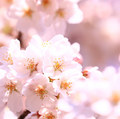 桜 開花予想2018【花見】東京・福岡・名古屋・京都・静岡・広島