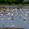 ベリーズ クルックドツリー野生生物保護区の水鳥の群れ