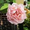 夏の終りのバラ