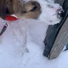 雪の中に顔を突っ込む「もずく」。顔が雪だらけになってもお構いなし