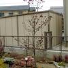 ハナミズキ植栽