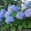紫陽花と人生