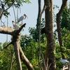 ベリーズ 川岸のトキコウたち