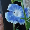 花と指 その弐拾捌 西日の当たる場所の朝顔