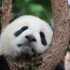 絶滅危惧種が100万種の動植物さんに。絶滅危惧種のパンダさん、保護活動が進みリスクが下がってます♫♫♫