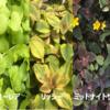 【グランドカバーの定番】リシマキア3品種の育成と(我が家の)最強のリシマキアを決定!~2年間生き延びた品種は?