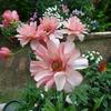 ミモザ・ガーデンの日記ー花もわが身も