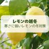 【レモン栽培】寒さに弱いレモンの越冬手法【柑橘類の育て方】