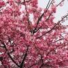 2月の河津桜