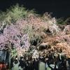 六義園の枝垂れ桜がそろそろ見頃です