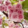 さらに八重桜