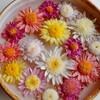 古典菊の新作
