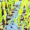 トウモロコシの植え付け!枝豆の混植!