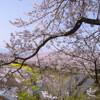 そうだ 京都、行こう。今年の桜開花はいつだろな?♡