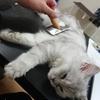 ペルシャ猫を飼う筆者が長毛種におすすめのブラシをご紹介!