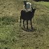 今日学校から帰ってる途中にヤギに遭遇