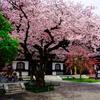 鎌倉の桜。開花状況と混雑と雰囲気。2017年。