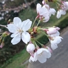 花咲くイチゴ苗
