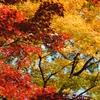 京都で紅葉