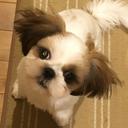 シーズー犬 ユイちゃんと暮らす
