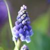 庭に咲く草花を見て身近に春の訪れを感じられるのが賃貸派より持家派のいいところかな