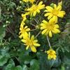 菊のような黄色が鮮やか! つわの花♪