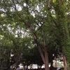北海道大学構内 緑のビアガーデン