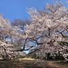 新宿御苑の桜たち 2