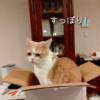 雨田甘夏、やせ型です。【猫とお鍋と箱事情】