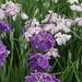 季節を感じる紫のあやめ!多賀城あやめ園まつりの写真