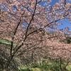 一足早く春を感じさせてくれる河津桜