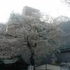 神田明神の桜