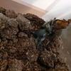 子供たちが育てているカブトムシが今年も無事に成虫へと育つ