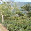 グァテマラ産コーヒー豆に関する真実、生豆・焙煎・淹れ方etc