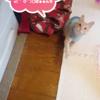 100均のピンクの猫じゃらしで姪っ子に遊んでもらうココちゃん♪