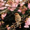 河津桜のメジロ^^;