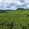 真夏の茶畑