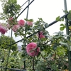 2021.5.6 庭のバラが綺麗に咲きました。