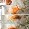 クルクル踊る金魚